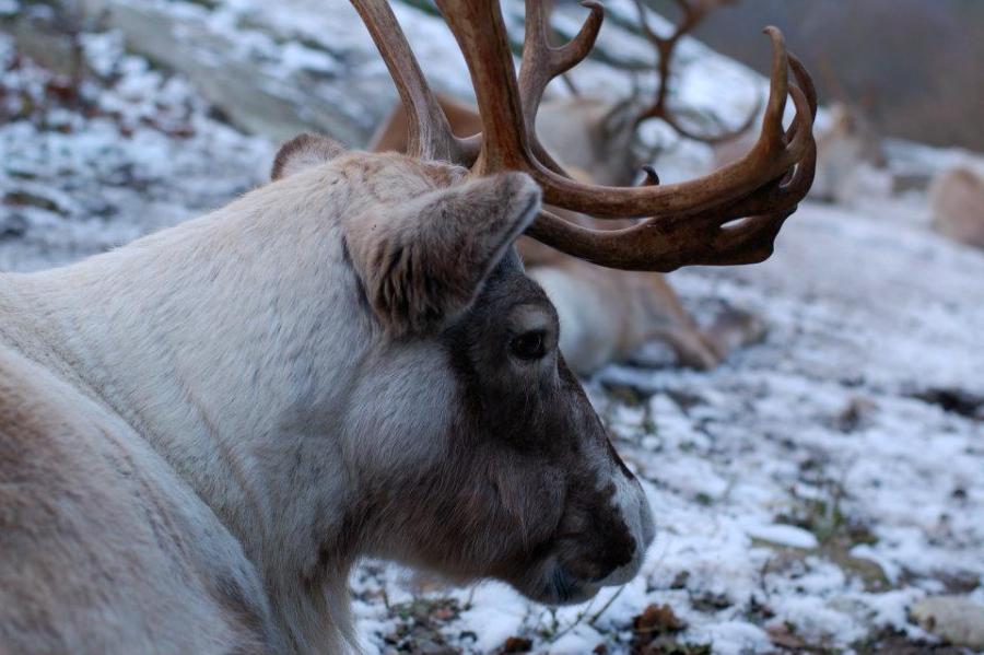 Stockholm reindeer